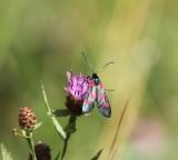 Sintjansvlinder - Six-spot burnet - Zygaena filipendulae