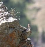 Kneu - Common linnet - Linaria cannabina