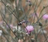 Kolibrivlinder -  Hummingbird hawk-moth - Macroglossum stellatarum