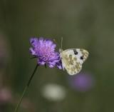 Resedawitje - Bath white - Pontia daplidice