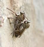Ringpootroofvlieg - Tolmerus Cingulatus
