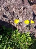 Schijnpapaver - Papaver cambricum