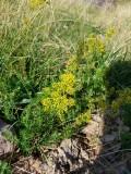 Geel walstro -Yellow bedstraw  - galium verum