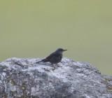 Blauwe rotslijster - Blue rock thrush - Monticola solitarius