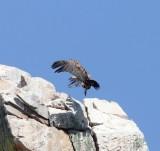 Vale gier - Griffon vulture - Gyps fulvus