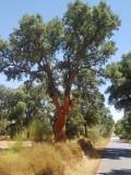 Kurkeik - Cork oak - Quercus suber