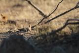 Hop - Eurasian hoopoe - Upupa epops