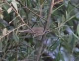 Westelijke Vale spotvogel - western olivaceous warbler - Hippolais opaca