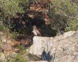 Dwergarend  - Booted eagle - Hieraaetus pennatus