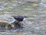 Zwartbuikwaterspreeuw-White-throated dipper cinclus - cinclus cinclus cinclus
