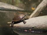 Europese moerasschildpad - European pond turtle - Emys orbicularis