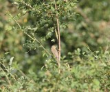 Orpheusspotvogel - Melodious warbler - Hippolais polyglotta