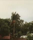 Pinapalm , açaí palm , Euterpe oleracea.
