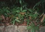 Papilio thoas.