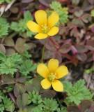 Klaverzuringfamilie - Oxalidaceae