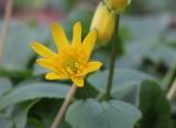 Ranonkelfamilie - Ranunculaceae
