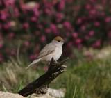 Zwartkop -  Eurasian blackcap  - Sylvia atricapilla