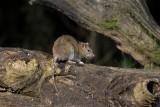 Bruine rat - Brown rat  - Rattus norvegicus