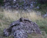 Alpenmaramot - Alpine marmot - Marmota marmota