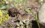 Gewone bosmuis - Wood mouse - Apodemus sylvaticus