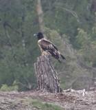 Lammergier - Bearded vulture - Gypaetus barbatus