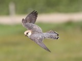Roodpootvalk - Red-footed falcon - Falco vespertinus