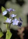 Ruwbladigenfamilie - Boraginaceae