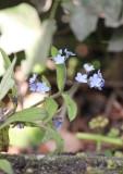 Bosvergeet- mij- nietje - Wood forget-me-not - Myosotis sylvatica