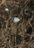 Eenjarig Wollegras - Eriophorum vaginatum