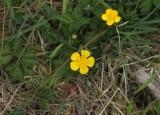 Kruipende boterbloem - Creeping buttercup -  Ranunculus repens