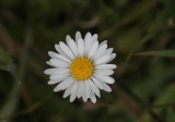 Madeliefje - Daisy - Bellis perennis