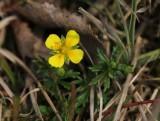Rozenfamilie - Rosaceae