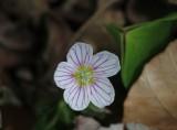 Witte klaverzuring - Common wood sorrel - Oxalis acetosella