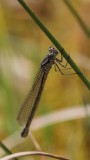 Maanwaterjuffer - Irish damselfly - Coenagrion lunulatum