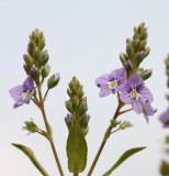 Weegbreefamilie - Plantaginaceae