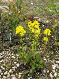 Kruisbloemenfamilie - Brassicaceae