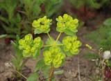 Wolfsmelkfamilie - Euphorbiaceae