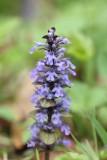 Lipbloemenfamilie - Lamiaceae