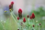 Vlinderbloemenfamilie - Leguminosae