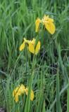 Lissenfamilie - Iridaceae