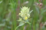 Bremraapfamilie - Orobanchaceae