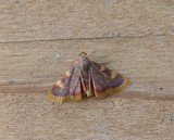 Hypsopygia costalis - Trianelmot