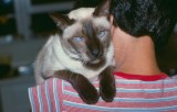 coco our first siamese 1975