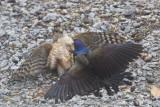 oiseaux_de_proies