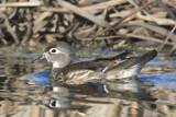oiseaux_aquatiques
