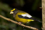 gros bec errant - evening grosbeak