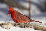 cardinal rouge - northern cardinal