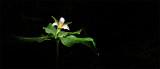 Trilium , Flower in the Redwood Forest