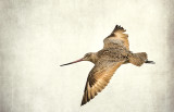 The Willet