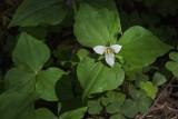 Trillium, Flower of the Faeries